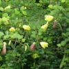 buy-plantslive-Bauhinia Tomentosa, Yellow Bauhinia - Plant