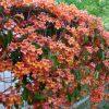 buy-plantslive-Bignonia purpurea - Plant