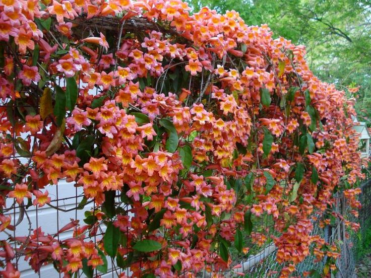 Bignonia Purpurea Plant Plantslive Buy Plants Online