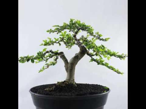 buy-plantslive-Bonsai Ulmus - Plant