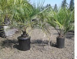 buy-plantslive-Butia capitata: Cocos capitata: Syagrus capitata - Plant