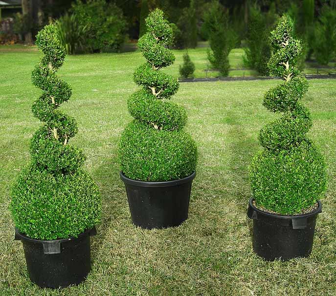 buy-plantslive-Buxus Microphylla Japonica - Plant