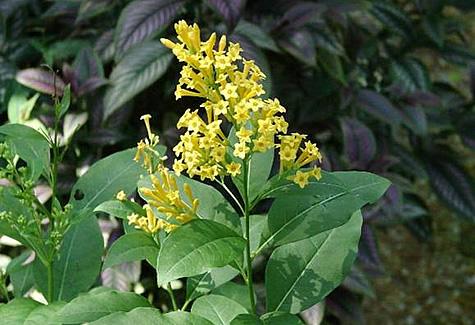buy-plantslive-Cestrum aurantiacum - Plant