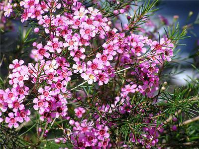 buy-plantslive-Chamelaucium uncinatum - Plant