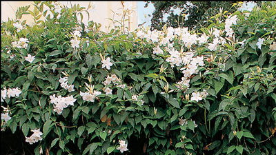 buy-plantslive-Chonemorpha macrophylla - Plant