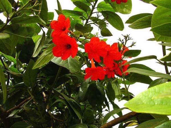 cordia scarlet cordia plant plantslive buy plants online india. Black Bedroom Furniture Sets. Home Design Ideas