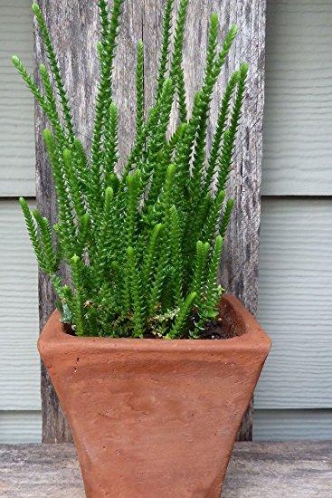 plantslive-Crassula Princess Pine - Plant