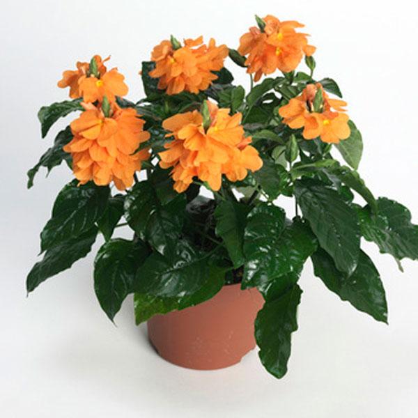 buy-plantslive-Crossandra undulaefolia rubra - Plant