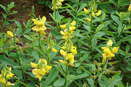 buy-plantslive-Crotalaria retusa - Plant