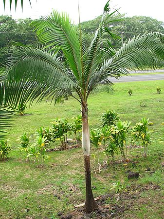 buy-plantslive-Dictyosperma album variety rubrum - Plant