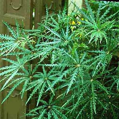 buy-plantslive-Dizygotheca kerchoveana - Plant