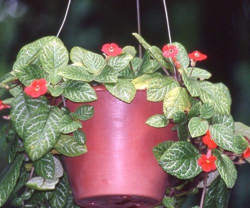 buy-plantslive Episcia cuperata - Plant