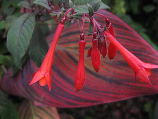 buy-plantslive-Fuchsia triphylla - Plant