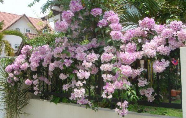 buy-plantslive-Garlic Creeper, Mansoa Alliacea - Plant