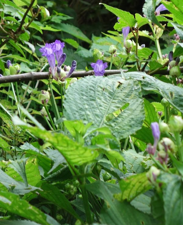 buy-plantslive-Hemigraphis Latebrosa, Ruellia Labetrosa - Plant