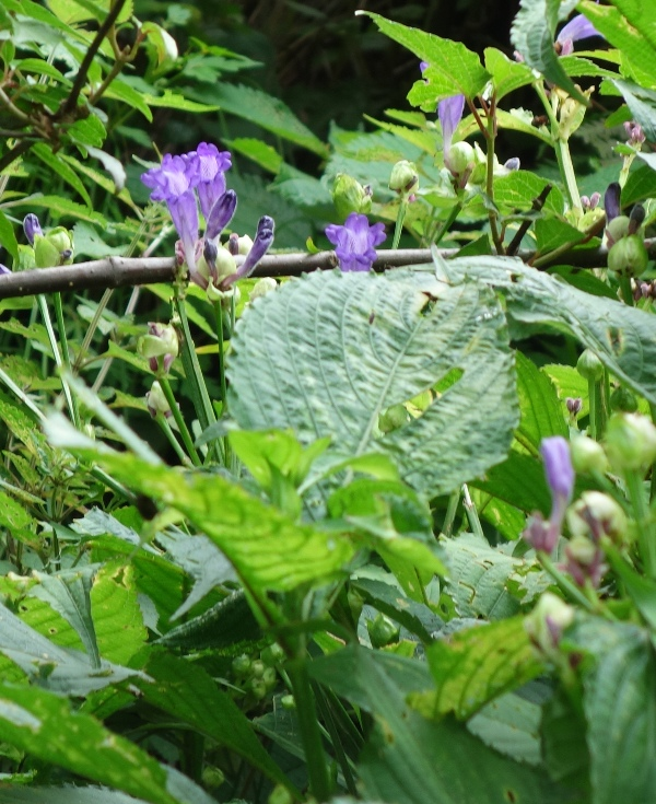 Hemigraphis latebrosa ruellia labetrosa plant for Buy plans online
