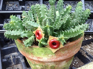 buy-plantslive-Huernia Zebrina - Plant