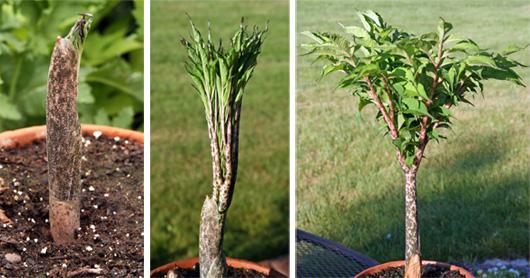 buy-plantslive-Hydrosme rivieri - Plant
