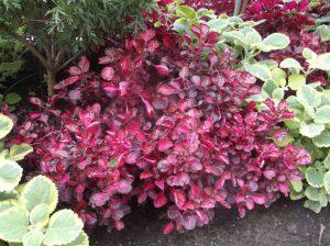 buy-plantslive-Iresine herbstii aureoreticulata - Plant