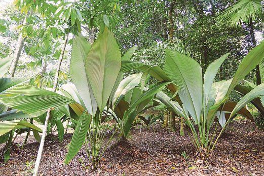 buy-plantslive-Johannesteijsamannia species - Plants-online-India