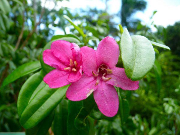 buy-plantslive-Lemonia spectabilis - Plant