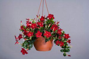 buy-plantslive-Mandevilla (Red) - Plant