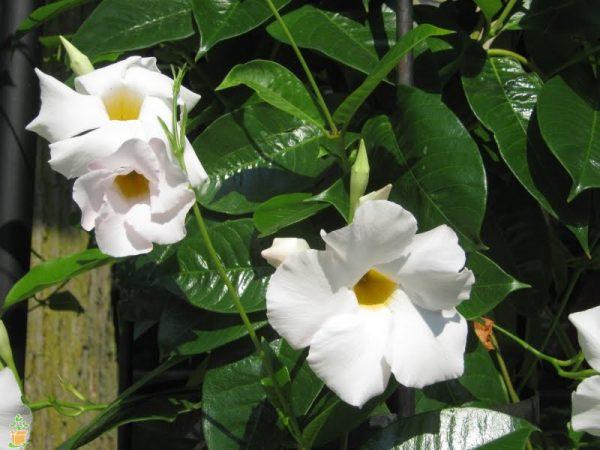 buy-plantslive-Mandevilla (White) - Plant
