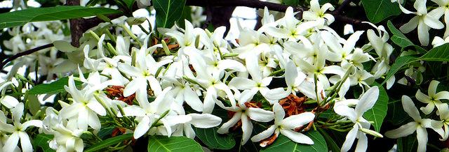 Muchkund karnikar plant plantslive buy plants for Buy plans online