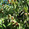 buy-plantslive-Nagkeshar, Mesua Ferrea - Plant