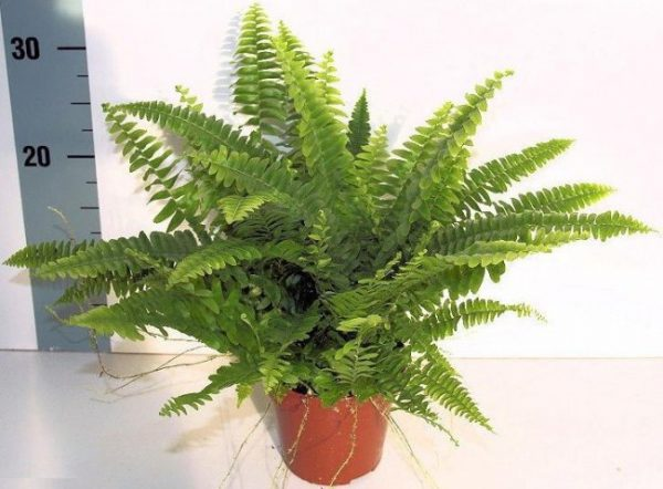 buy-plantslive-Nephrolepis biserrata aurea - Plant