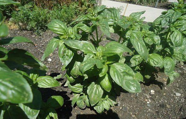 buy-plantslive-Ociumum Basilicum Sabja - Plant