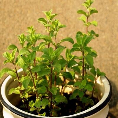 buy-plantslive-Origanum Majorana, Marjoram, Marwa - Plant