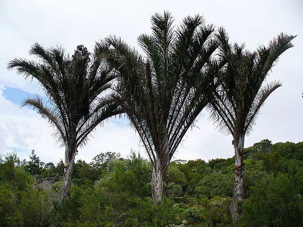 buy-plantslive-Raphia australis - Plant