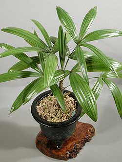 buy-plantslive-Rhapis-Subtilis