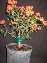 buy-plantslive-Rondeletia Odorata, Fragrant Panama rose - Plant