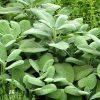 buy-plantslive-Sage, Sefakuss - Plant