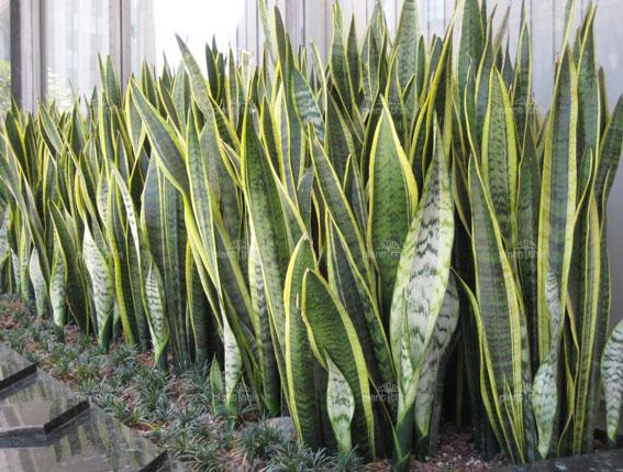 buy-plantslive-Sansevieria Trifasciata Laurentii, Snake Plant