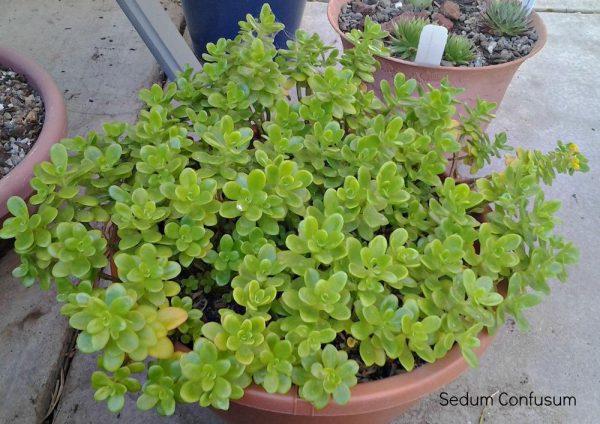 buy-plantslive-Sedum Confusum - Plant
