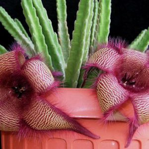 buy-plantslive-Stapelia species - Plant