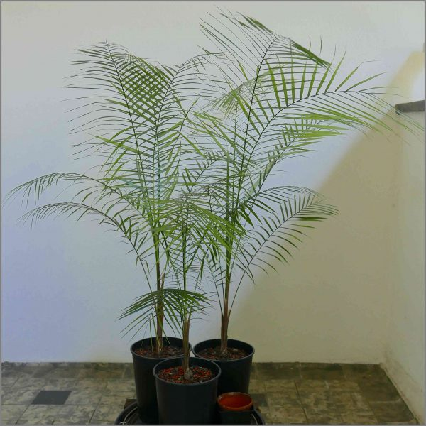 buy-plantslive-Syagrus weddelliana: Cocos weddelliana - Plant