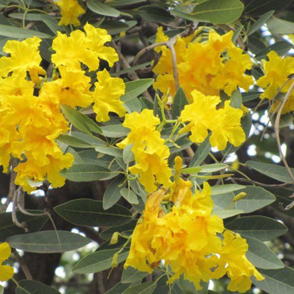 buy-plantslive-Tabebuia argentea, Tecoma argentea - Plant