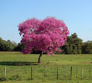 buy-plantslive-Tabebuia Rosea, Savannah Oak - Plant