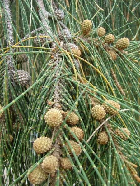 buy-plantslive-Wind tree - Plant
