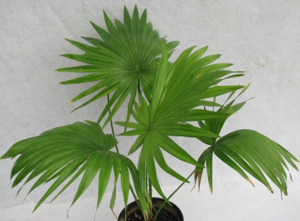 buy-Table palm, Umbrella Palm - Plant