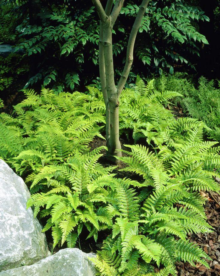 Nephrolepis exaltata aurea variegata plant plantslive for Buy plans online