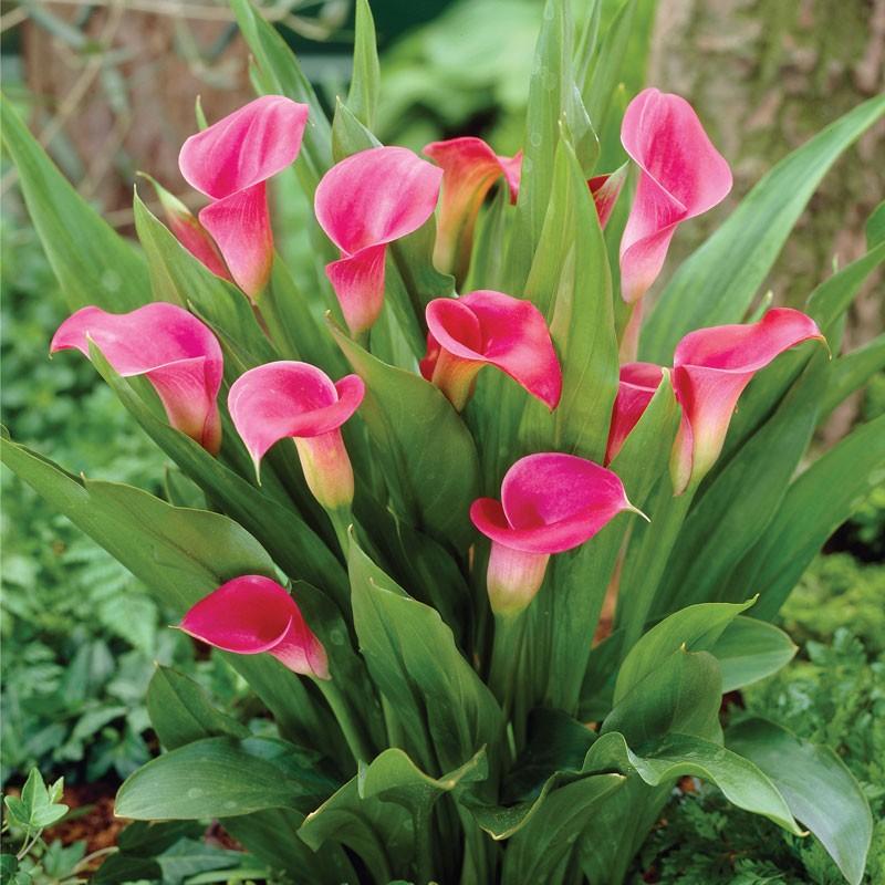 calla lily pink plant plantslive buy plants online. Black Bedroom Furniture Sets. Home Design Ideas