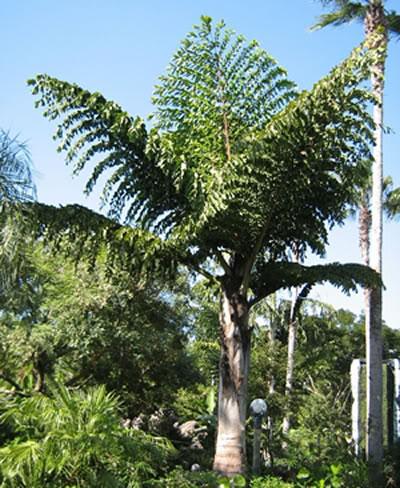 Fishtail Palm Caryota Palms Plant Plantslive Buy
