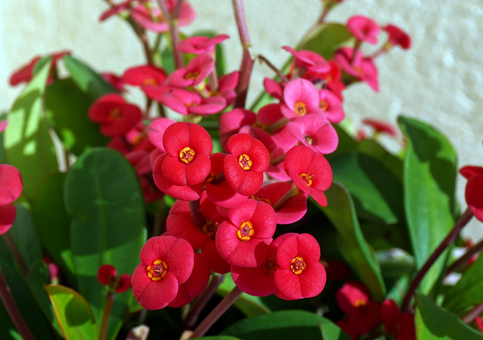 Euphorbia red plant plantslive buy plants online india for Buy plans online