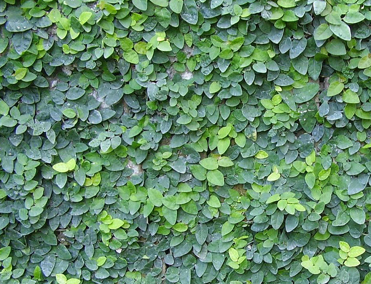 Wagh Nakhi Ficus Repens Creeping Fig Plant