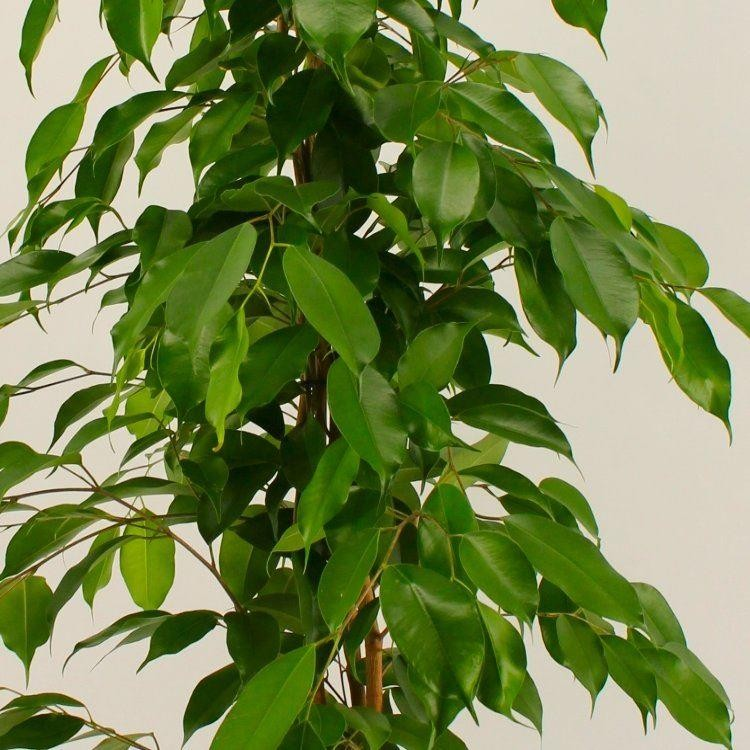 Ficus benjamina weeping fig plant buy plants online india for Plantes on line